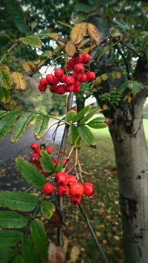 Berries Autumn Nature Red