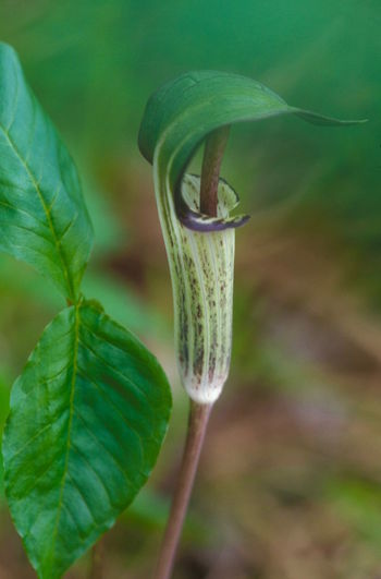 Beauty In Nature Close-up Day Focus On Foreground Fragility Freshness Green Color Jack In The Pulpit Leaf Nature No People One Animal Outdoors Plant