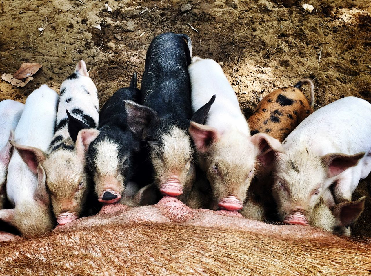 High angle view of pig feeding piglets on field
