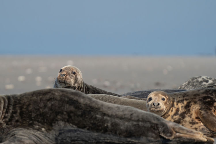 Wild grey seal colony on the beach at dune, germany. group with various shapes and sizes