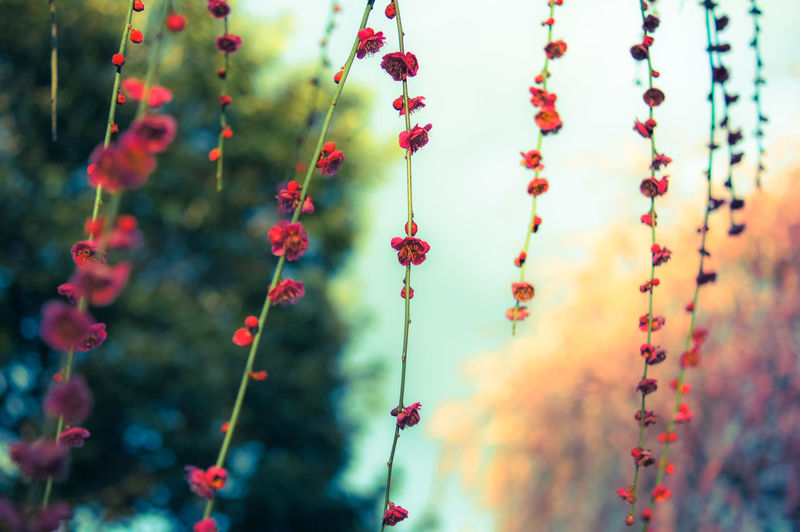 Low Angle View Of Red Flowers Growing On Vine In Park