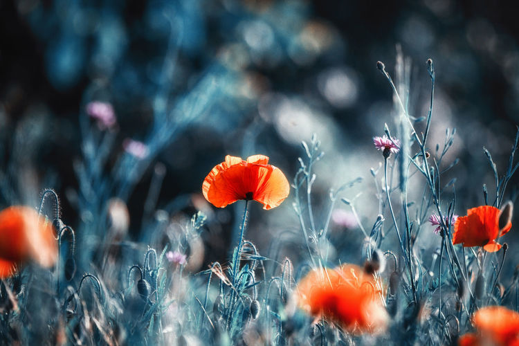 Close-up of poppy flowers blooming on field