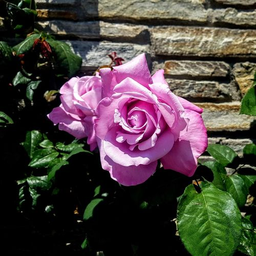 A lilac hybrid