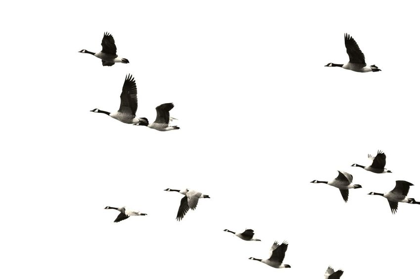 Heading south Capture The Moment Oh Canada.. Canada Geese Overexposed Leaving Winter Behind Nature Photography EyeEm Best Shots - Nature Birds Of EyeEm  EyeEm Nature Lover Learn & Shoot: Leading Lines