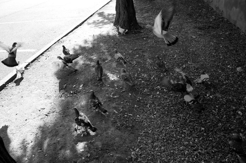 Pigeons on street