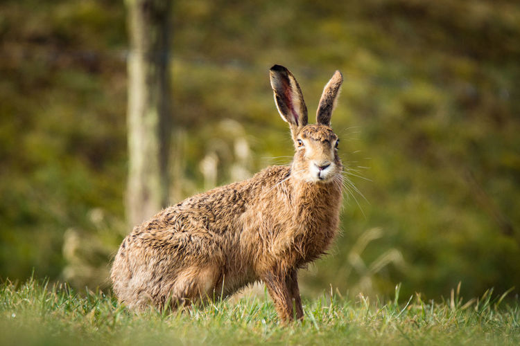 European hare, sitting Lepus Europaeus Säugetier Animal Themes Animal Wildlife Animals In The Wild Brown Hare Close-up Day European Hare Feldhase Field Grass Hare Hase Mammal Nature No People One Animal Outdoors Portrait