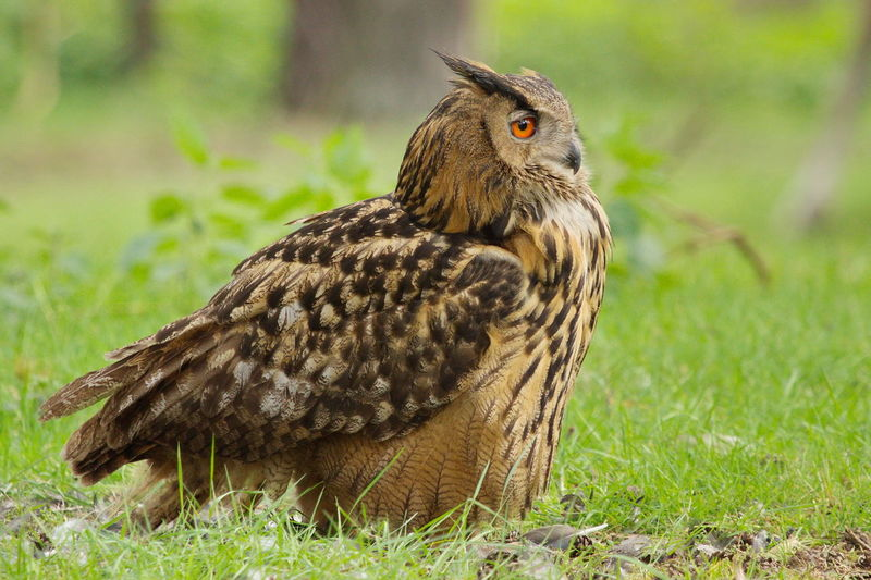 Eagle Owl On Grassy Field