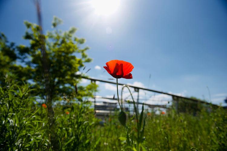 Red poppy flower on field against sky