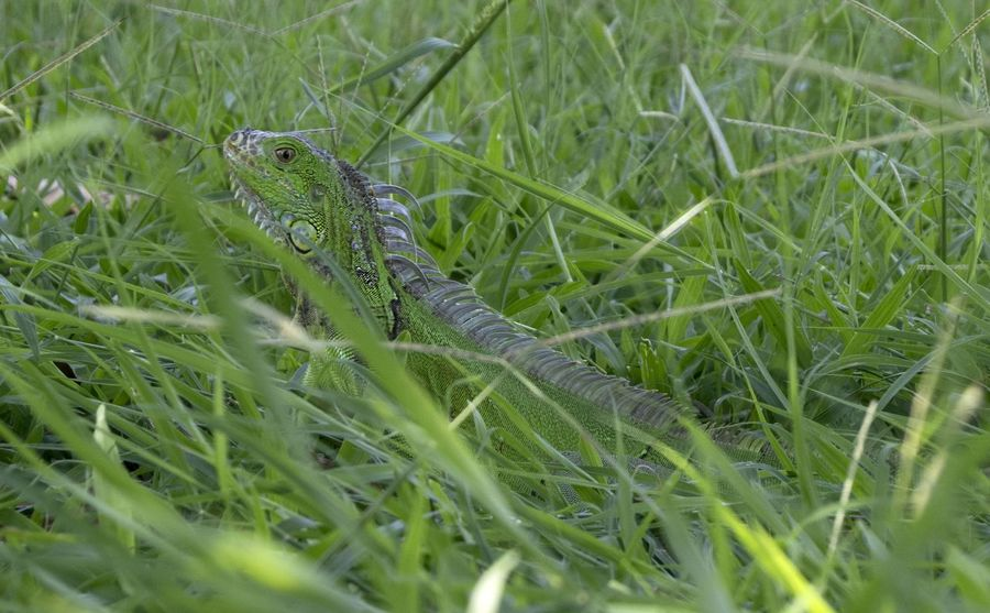 Reptile Green Color Animals In The Wild Animal Wildlife Nature Day Outdoors Grass