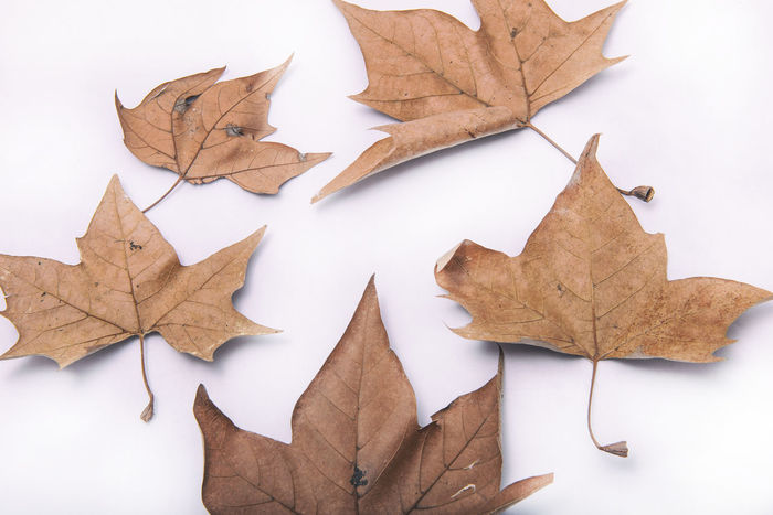 Aging Process Art And Craft Autumn Change Close-up Dry Fragility High Angle View Indoors  Leaf Leaf Vein Leaves Maple Leaf Natural Pattern No People Paper Season  Still Life Studio Shot White Background
