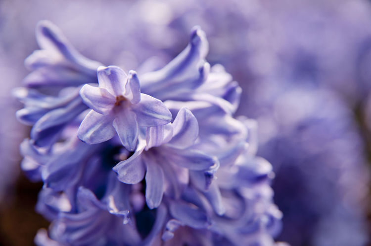 Beauty In Nature Blooming Flower Freshness Growth Hyacinth Hyacinth Flower Hyacinths Hyacinthus Orientalis In Bloom Nature No People Petal Plant