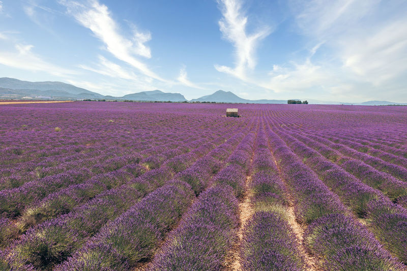 Scenic view of lavender field against sky