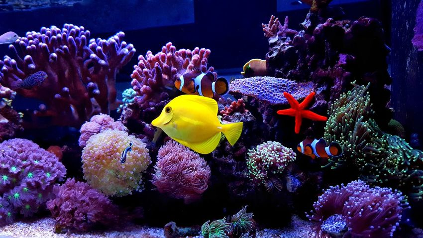Beautiful Coral reef aquarium scene with fishes Reef Reef Tank Reef Fish Coral Reef Coral Coral Fish Aquarium Tank Tropical Tropical Fish Yellow Tang Nemo Fish Aquarium Aquarium Life Aquatic Aquarium Photography Underwater UnderSea Sea Life Fish Animals In The Wild Reef Coral Animal Wildlife Sea Animal Themes Large Group Of Animals Nature Water Swimming