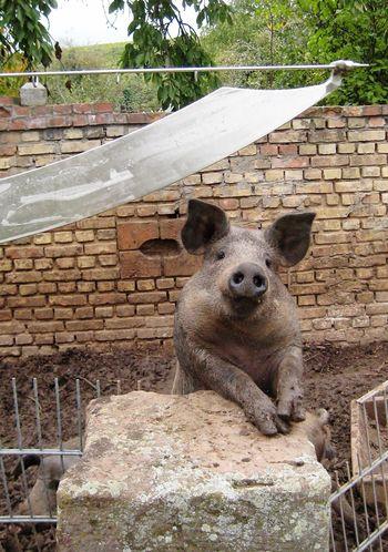 ein glückliches Schwein .....a happy pig animal nature Tiere