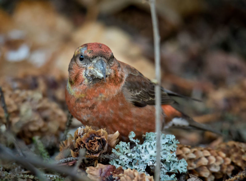 Red crossbill eating silver fir cones Feeding  Loxia Curvirostra Red Animal Themes Animal Wildlife Animals In The Wild Bird Close-up Crossbill Day Male Nature No People One Animal Outdoors Red Crossbill