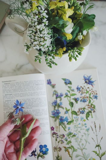 learning about eatable flowers and herbs Human Hand Human Body Part Plant Indoors  Flower Holding One Person Leaf Day Lifestyles Real People Adult People Healthy Eating Adults Only Tree Sketch Pad Nature Close-up Only Women Borago Borage Officinalis Borago Officinalis Borage Borage Flowers