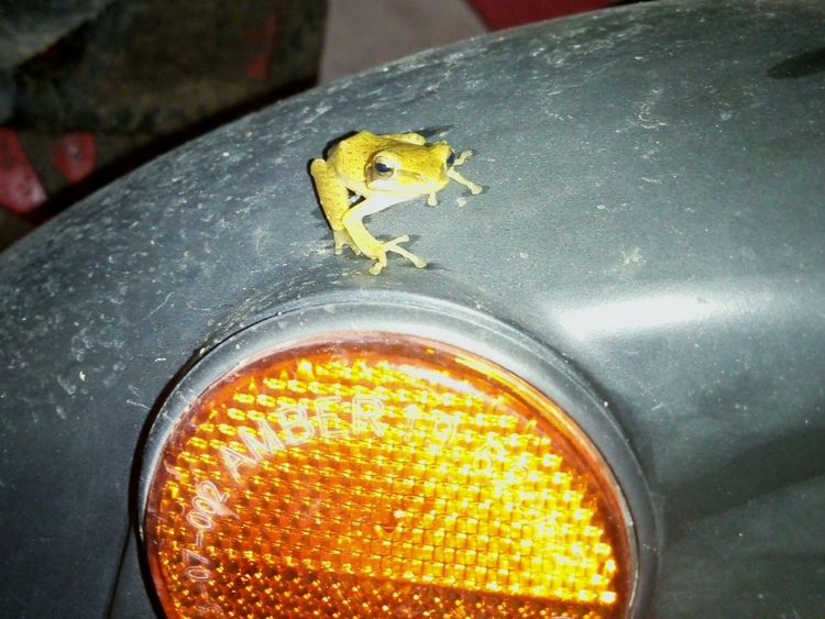 Frog Yellow Close-up Frogs Of Eyeem Froggie Motor Vehicle Frog King Frogs. Nature Frog Eyes No People