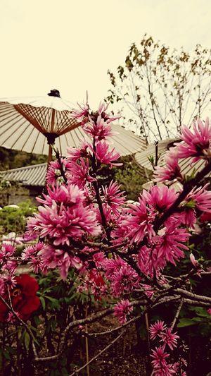 【Nara,Japan】spring of Japan 菊桃 Japanese Umbrella Kikumomo Japan Spring Taimadera Flower Pink Color Springtime Tree