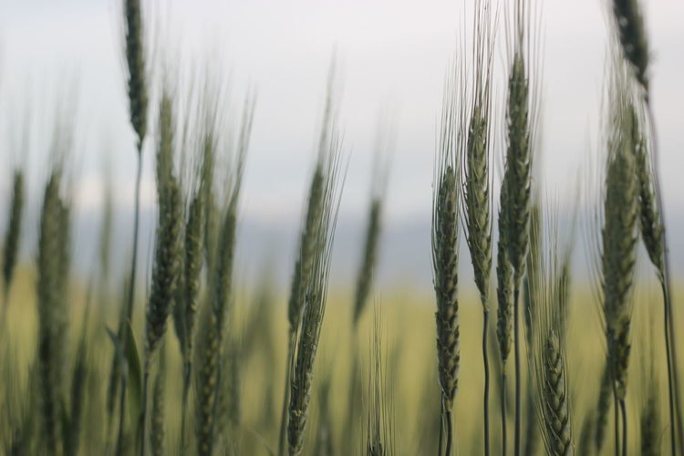 Wheat Field RYE Wheat Cereal Plant Rural Scene Agriculture Backgrounds Ear Of Wheat Crop  Close-up Grass Plant Farmland Rye - Grain Growing Young Plant Combine Harvester