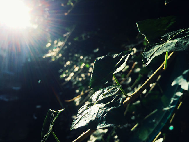 Leaves, very close. This iPhone 6 still rocks! Leaf Plant Part Plant Growth Sunlight Nature Beauty In Nature No People Day Close-up Green Color Selective Focus Tree Sunbeam Lens Flare Tranquility Outdoors Sun Sunny Focus On Foreground Leaves Purity Streaming Macro Detail