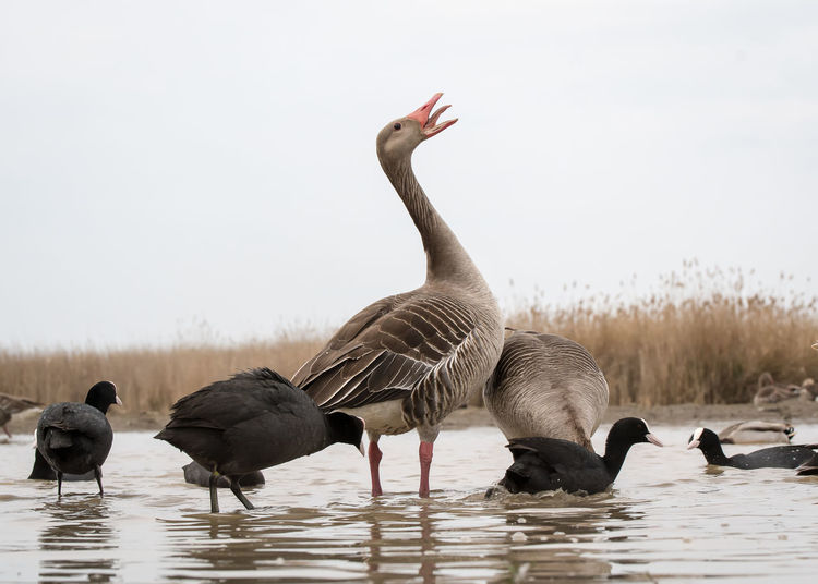 Wildlife Animal Themes Animal Wildlife Animals In The Wild Beauty In Nature Bird Day Goose Lake Nature No People Outdoors Swimming Togetherness Water