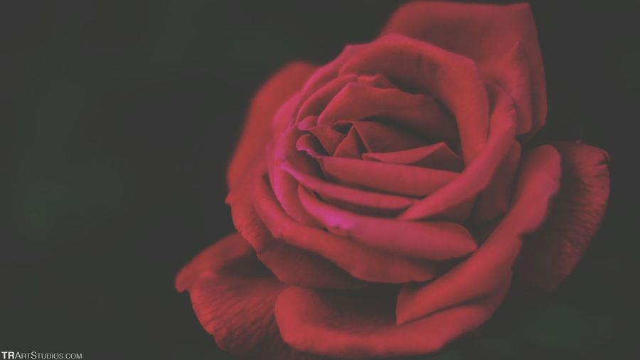 Red Rose🌹