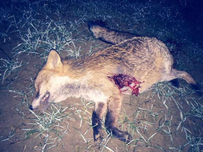 Varmint - fox regulation with my Browning Maral in 300wm🐺