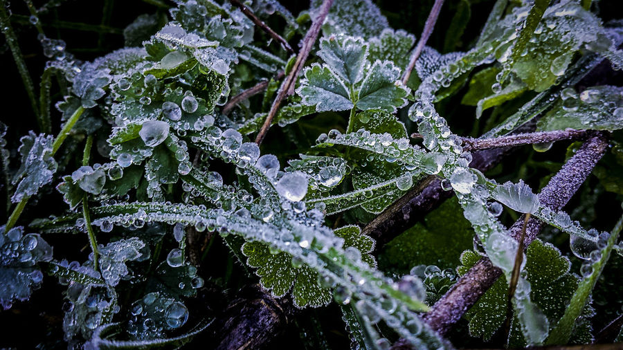 Close-up of frozen plant leaves during winter