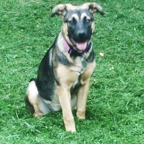 Dogslife Gsdpuppy German Shepherd