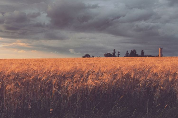 Field Agriculture Sky Landscape Growth Tranquility Tranquil Scene Farm Nature Crop  Cloud - Sky Rural Scene Scenics No People Beauty In Nature Grass Outdoors Day Wheat Cereal Plant