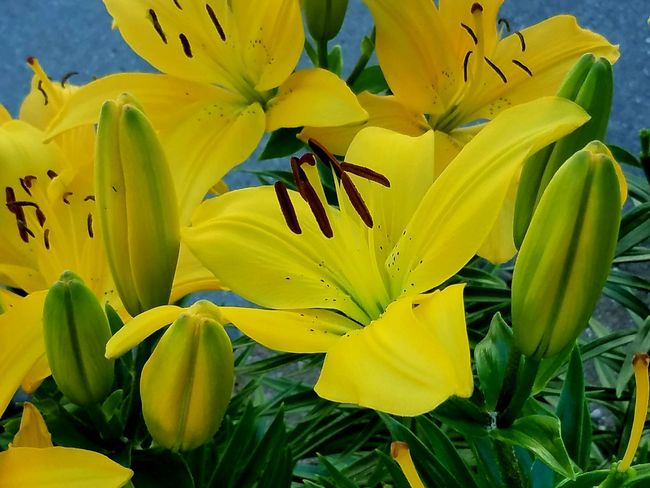 Lilies Flower Lilies Flowers Yellow Lillies Garden Flowers Detail Flower Head Flower Yellow Springtime Petal Stamen Lily Blossom Vibrant Color Flowering Plant Plant Life Focus EyeEmNewHere