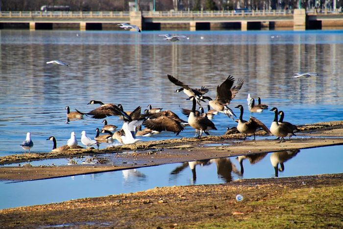 Flying geese in the pond and post-rain puddles surrounding the Jefferson Memorial in Washington, DC on winter day. Reflection Seagulls Animal Themes Animal Wildlife Animals In The Wild Avian Bird Canada Goose Day Flying Geese Goose Gosling Jefferson Memorial Lake Lakeshore Large Group Of Animals Nature No People Outdoors Post Storm Puddle Water Wings Wingspan