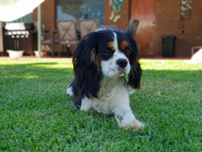 Dogs Of EyeEm Grass Backyard Cute Close-up Puppy Threelegs No People Candid Pets Portrait Dog Sitting Lawn Grass Building Exterior Cavalier King Charles Spaniel Puppy Yard Backyard Canine Lap Dog
