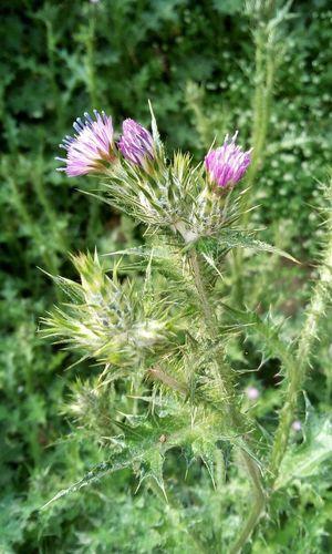 Arctium Arctium Lappa Arctiumlappa Bardan Bardana Beauty In Nature Flower Flower Head Flowering Plant Green Color Inflorescence Nature No People Petal Plant Purple