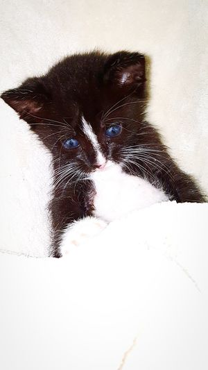 Blue Eyes Animal One Animal Mammal Animal Themes Pets No People Close-up Domestic Cat Domestic Animals Kitten Tuxedo Cat Adorable Kitty Softness Playful Kitten Playing Kitten Being Cute Adopt A Shelter Pet Adopt To Save A Life Adorable Cat  Furfamily Baby Animals Calmness Black And White