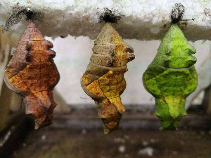 Nature Photography New Beginning Insects  Pupa Pupae Nature Close-up Philippines Photos BYOPaper!