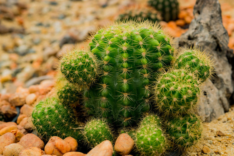 Close-up of cactus growing on pebbles