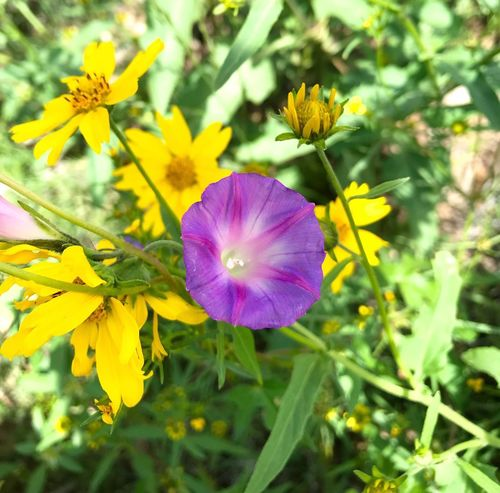 """""""Wildflower Orchestra"""" Like a purple trumpet playing in a symphony of nature, this Mountain Plover stands out as the lead instrument playing its solo piece. New Mexico Photography New Mexico Purple Wildflower Wildflowers Closeupshot Wildflower Flower Flowering Plant Plant Freshness Beauty In Nature Fragility Vulnerability  Close-up Purple"""