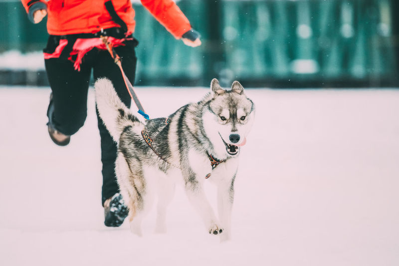 Young Husky Dog Runs Ahead Of Its Owner At The Winter Running Training. Husky Dog Playing Running Outdoor In Snow, Winter Season. Pets Dog Running Winter Snow Cold Young Husky Runs Ahead Training Playing Breed Purebred Pedigree