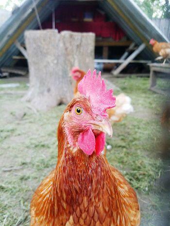 Henhouse Backyard Chickens Mygirls♡