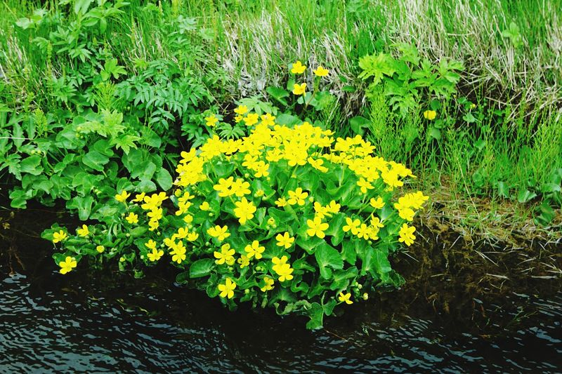 Yellow Growth Nature Plant Green Color Flower Outdoors Leaf Tranquility Day Beauty In Nature No People Grass Freshness Fragility Iceland Wide Shot Seljalandsfoss Marsh Marigold