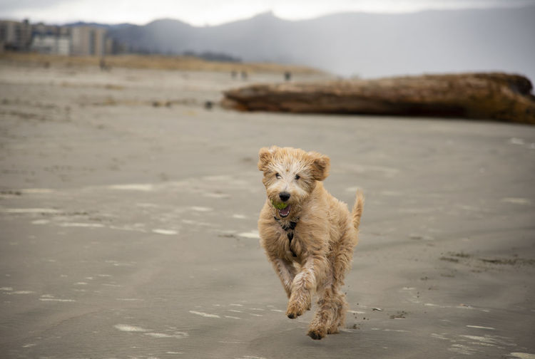 dog running on