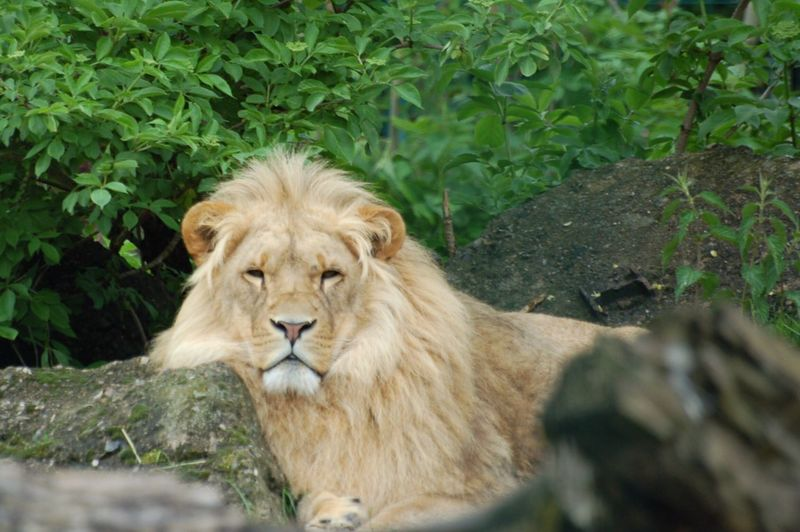 Portrait of a relaxed lion