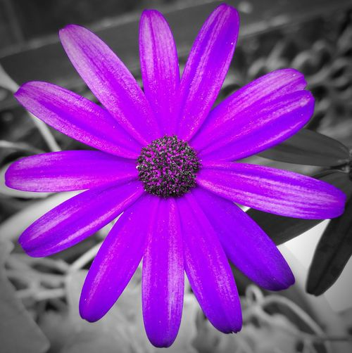 Giant Daisies, splash of colour🌼 Flower Purple Fragility Nature Beauty In Nature Petal Flower Head Pink Color Close-up Plant Calming Background Splash Of Purple Splashofcolor Colour Splash Splash Of Color Purple Flowers HuaweiP9Photography Focus On Foreground Day No People Crocus Perfume Osteospermum Eastern Purple Coneflower Plant Neon Life
