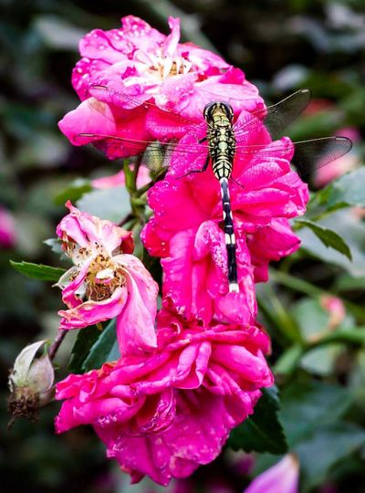 Dragonfly and