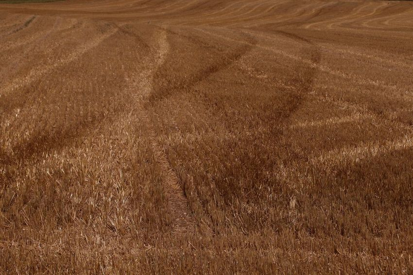 Stubblefield Gold Colored Cereal Plant Brown Farmland Agricultural Field