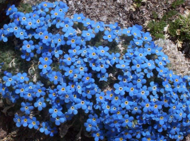 Forget Me Nots Buena Vista Mt.? On Top Of A Mountain