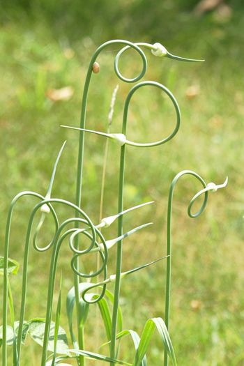 Green Color Focus On Foreground Plant No People Day Nature Close-up Growth Grass Outdoors Design Tranquility Garlic Garlic Plant Curly Twisted