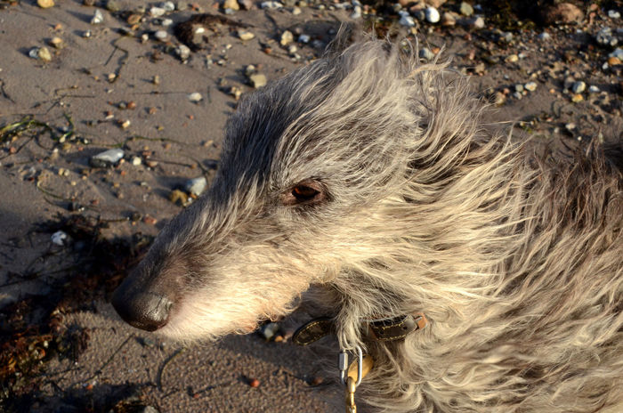 A curly Scottish Deerhound face in strong wind. Deerhound Scottish Storm Animal Themes Close-up Curly Day Domestic Animals Face Nature No People One Animal Outdoors Sand Sighthound Wind