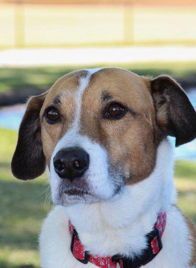 Buddy Beagle Park Dog EyeEm Selects Domestic Pets One Animal Domestic Animals Canine Dog Animal Mammal Portrait Close-up Animal Head  Collar Pet Collar Day
